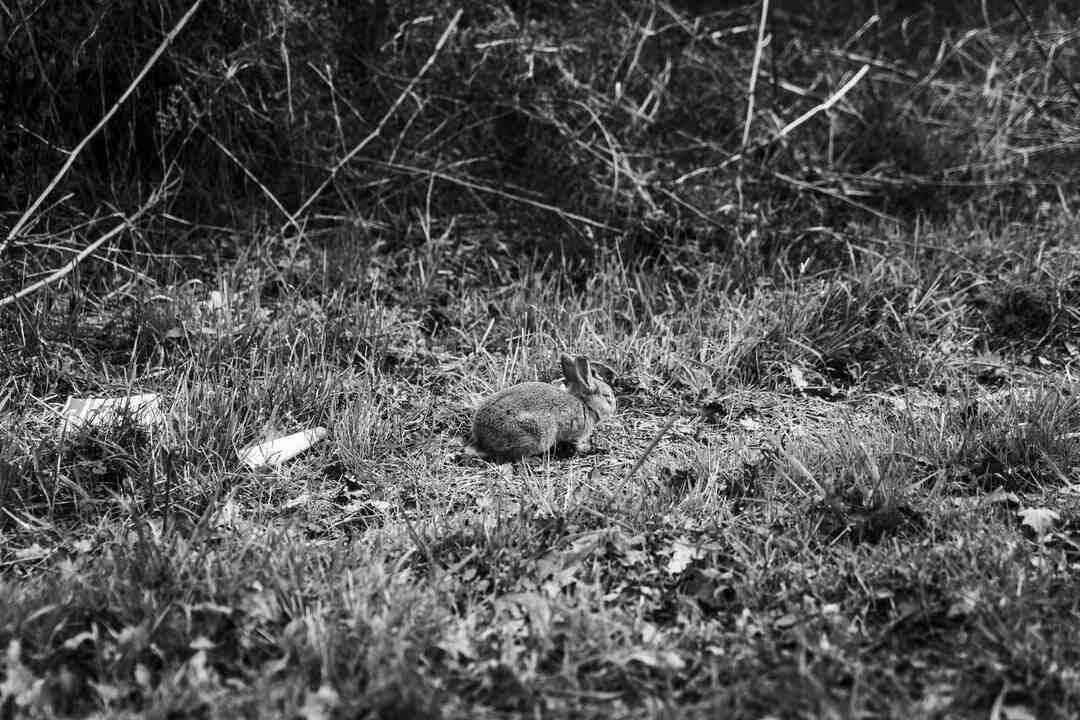 Comment faire pour attraper un lapin sauvage ?