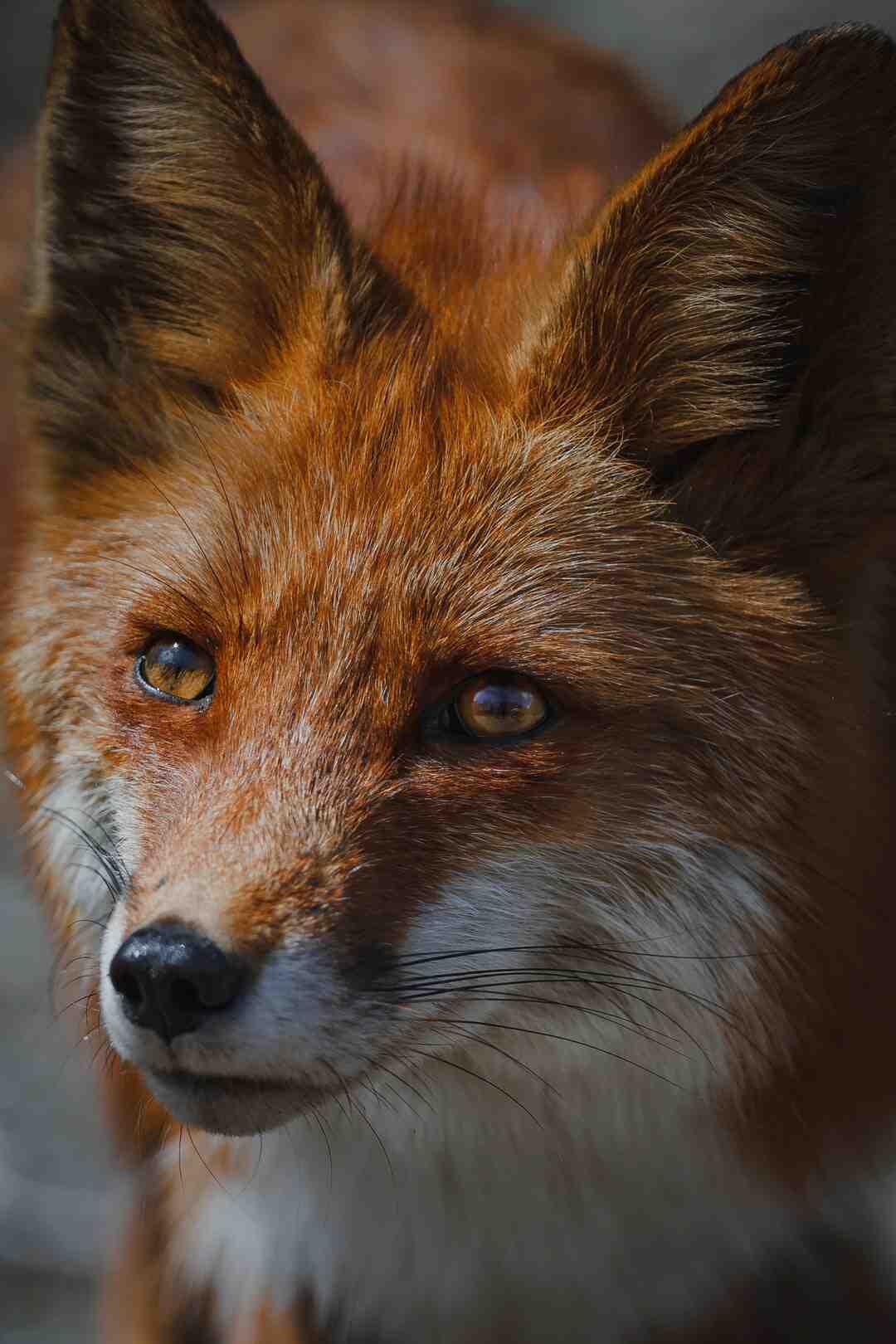Comment piéger un renard dans un poulailler ?