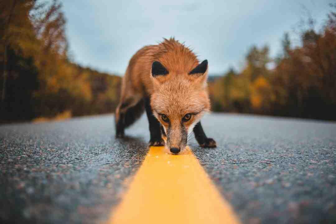 Comment se débarrasser d'un renard ?