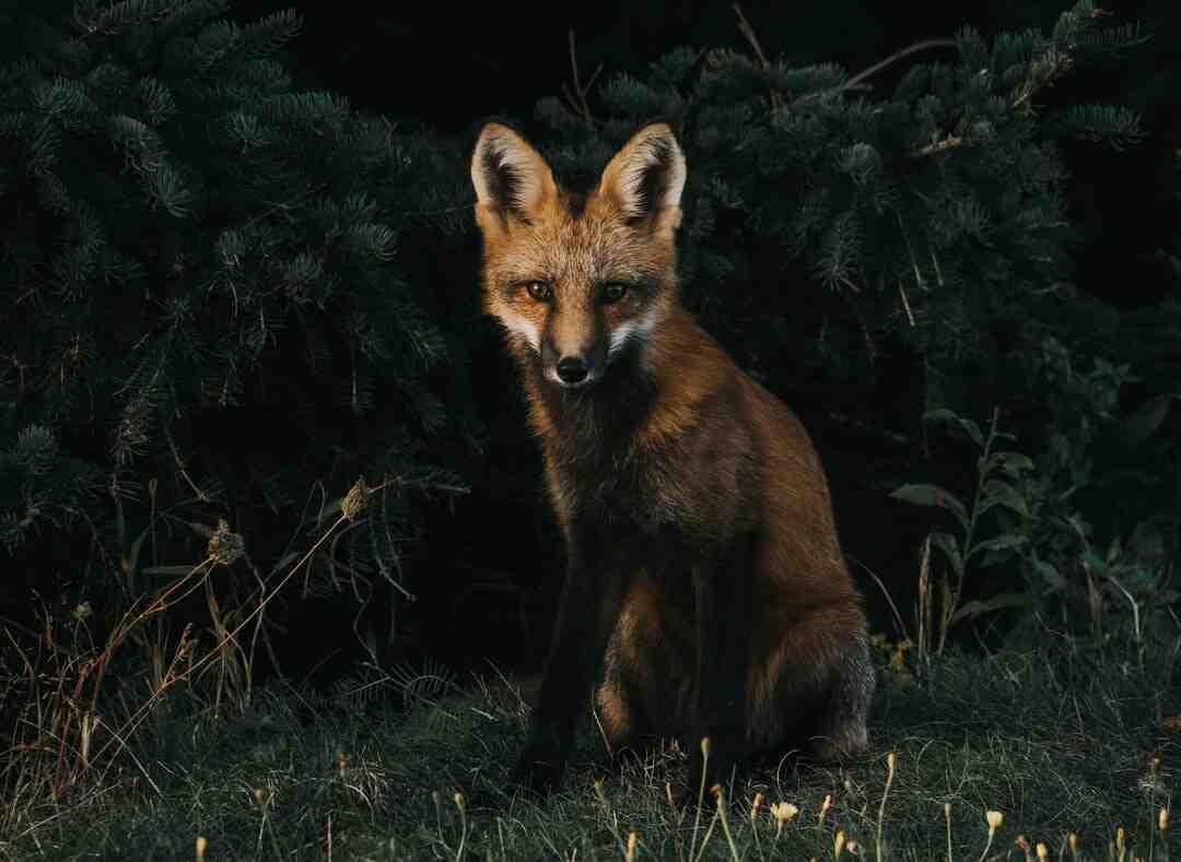 Est-ce que le renard attaque l'homme ?